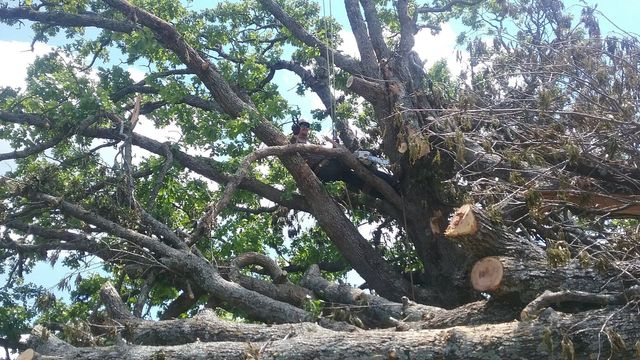 Tree removal in branson