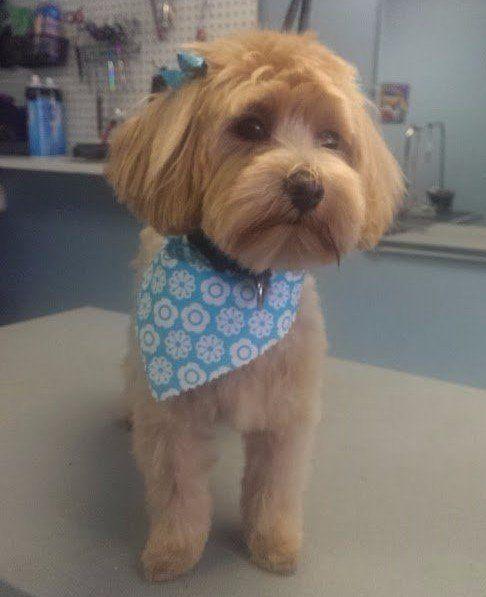 Dog being goormed in a pet barbershop