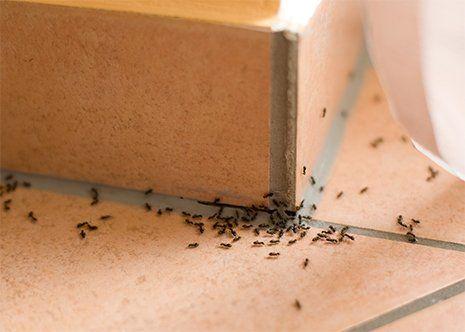 Servizio di disinfestazione delle formiche a Castenaso