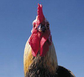Poultry breeders - Llanon, Ceredigion - Pentwyn Poultry - Chicken