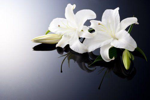 due tulipani bianchi