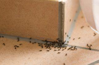 Ant Extermination Jacksonville FL