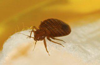 Bed Bug Extermination Jacksonville FL