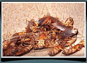 Cockroach Extermination Jacksonville, FL