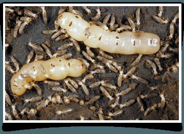 Termite Control Jacksonville, FL