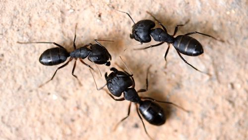 Most prevalent pests' service for carpenter ants in Kings Mills, OH