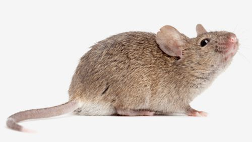 Most prevalent pests' service for mice in Kings Mills, OH