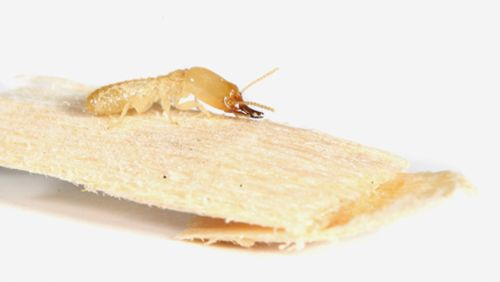 Most prevalent pests' service for termites in Kings Mills, OH