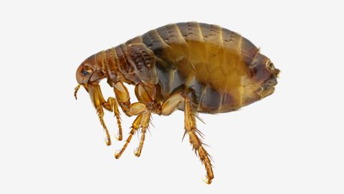 Most prevalent pests' service for fleas in Kings Mills, OH