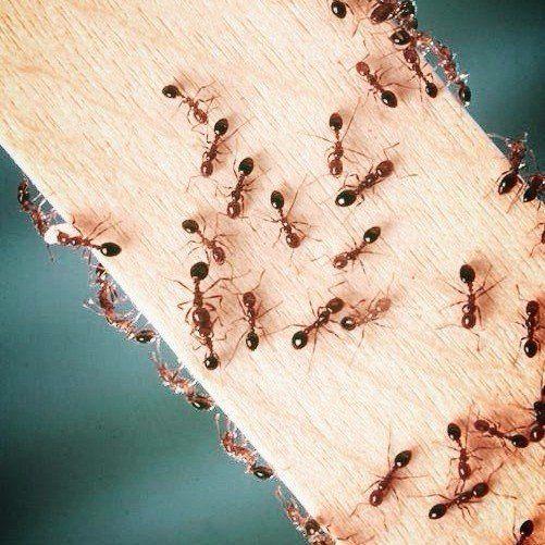 Seymour pest control, ants, pest control
