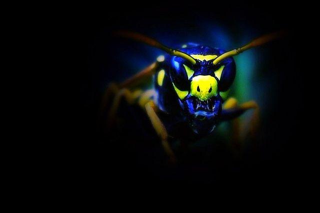 Seymour pest control, wasps, pest control