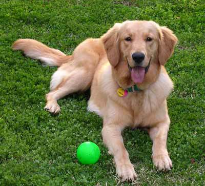 Golden Retriever on Dog Guard®