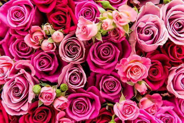 Molte rose a tutta la gamma di rose