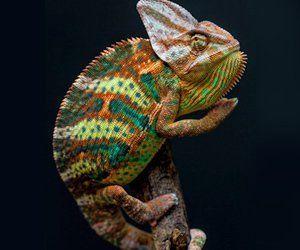 A chameleon on a branch
