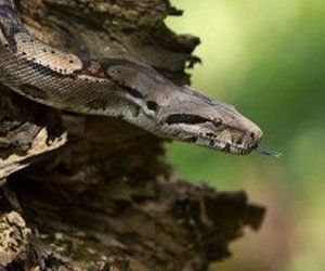 A snake emerging from a log