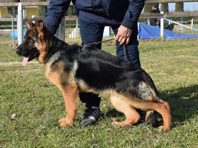 Allevamento Cani Pastore Tedesco E Pitbull Firenze