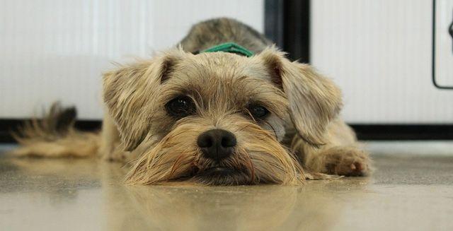 morphettville veterinary clinic schnauzer
