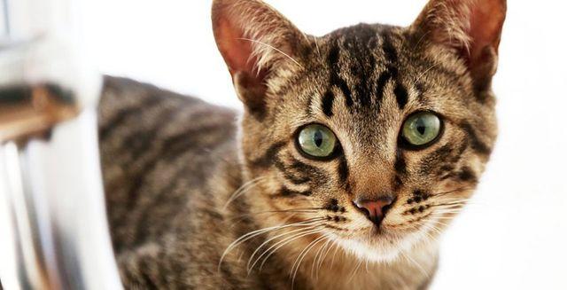 morphettville veterinary clinic tabby cat