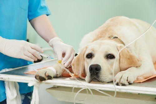 cane sul lettino del veterinario durante un iniezione