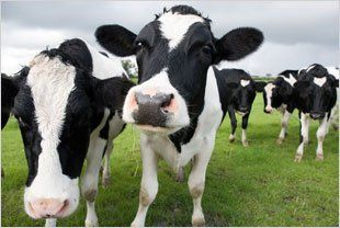 For fresh milk and produce in Barry and the surrounding areas, please call Jones Dairies on 01446 734 729