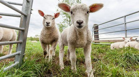 sheep care and treatment