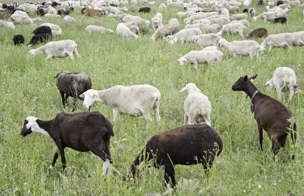 Sheep grazing after crop dusting in Pahiatua