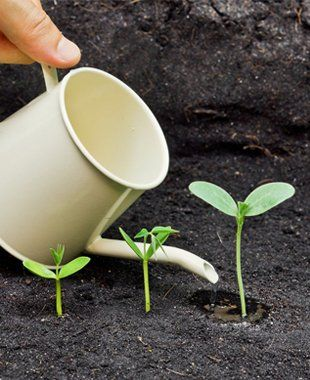 A white watering can being used to water three seedlings