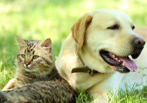 labrador e gatto stesi sull`erba