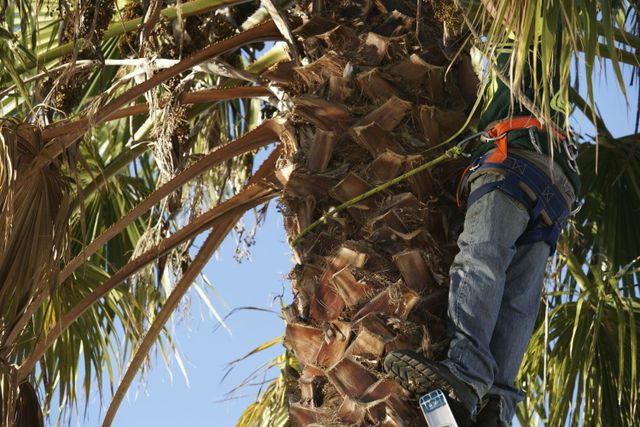 Professional performing tree services to a palm tree in Napier
