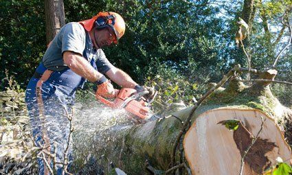 Tree felling by our expert