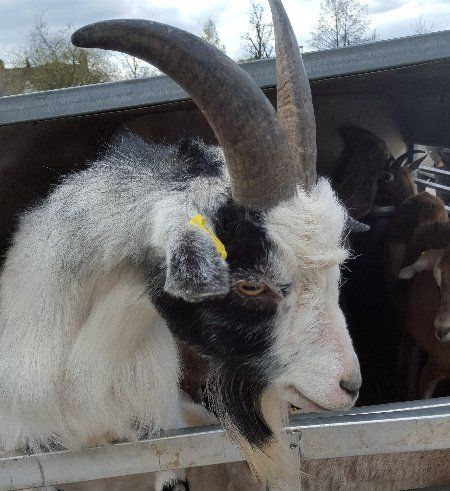 Sheep and goats for sale