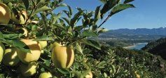 terra delle mele golden
