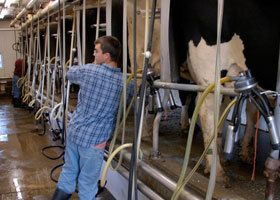 A man attending to cows in the dairy