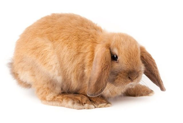 View of a mini lop rabbits