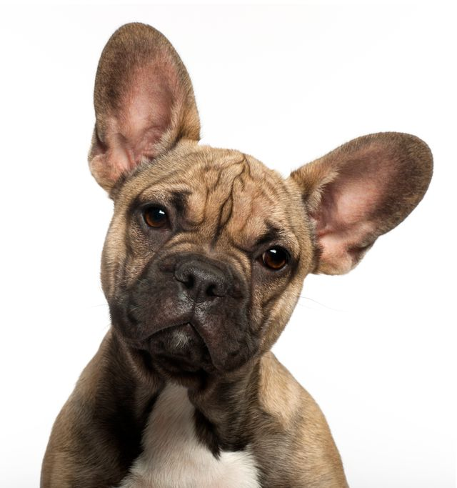 view of a french bulldog puppies brown