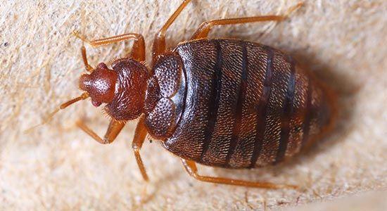 Bedbugs | Fargo, North Dakota | Midwest Pest Control LLC