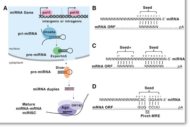 microRNA scientific illustration by Simplified Science Publishing.