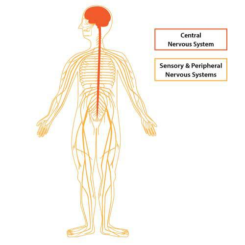 Nervous system illustration by Simplified Science Publishing.