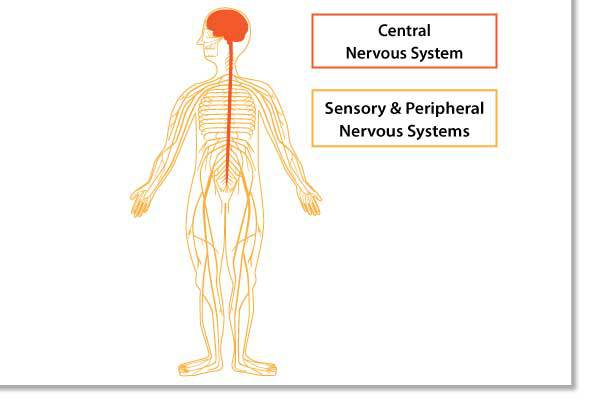 Nervous system scientific illustration by Simplified Science Publishing.