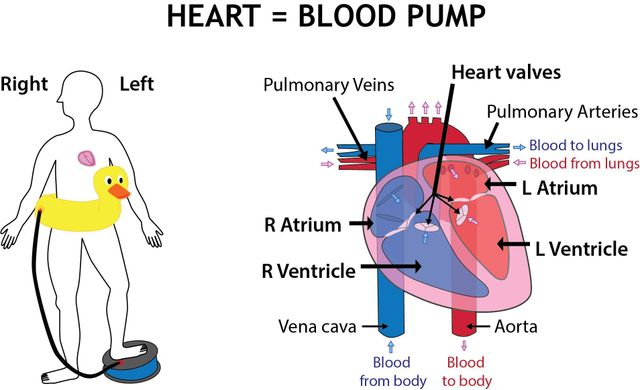 Human heart and pump illustration by Simplified Science Publishing.