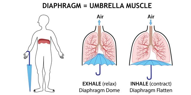 Human diaphragm and umbrella illustration by Simplified Science Publishing.