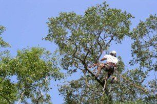 tree trimming - Charleston, Summerville, Mt. Pleasant, Moncks Corner SC