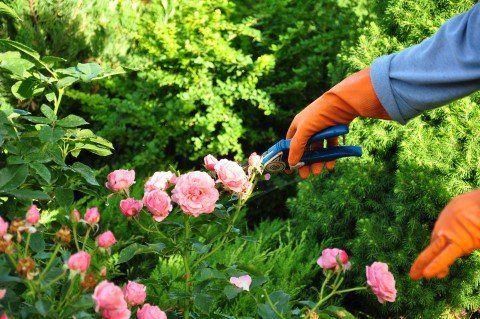 potatura delle rose con forbice