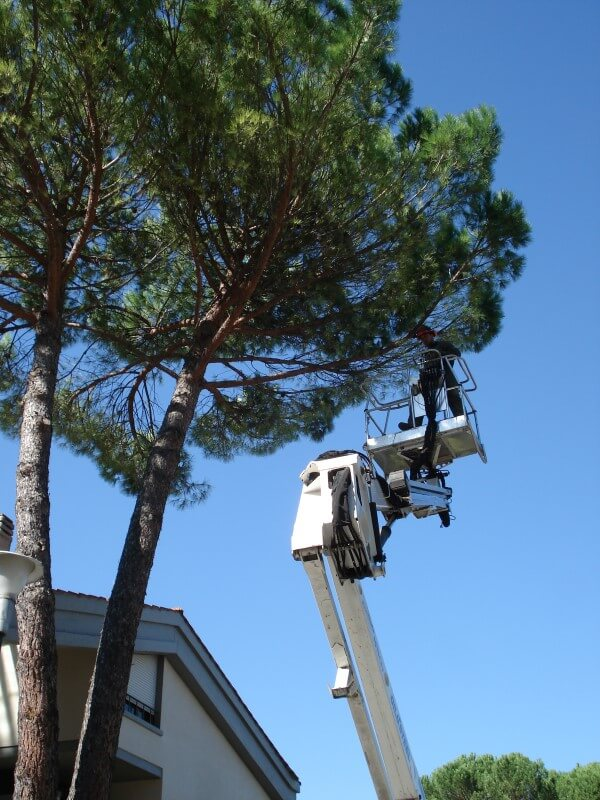 Pruning of a pine tree