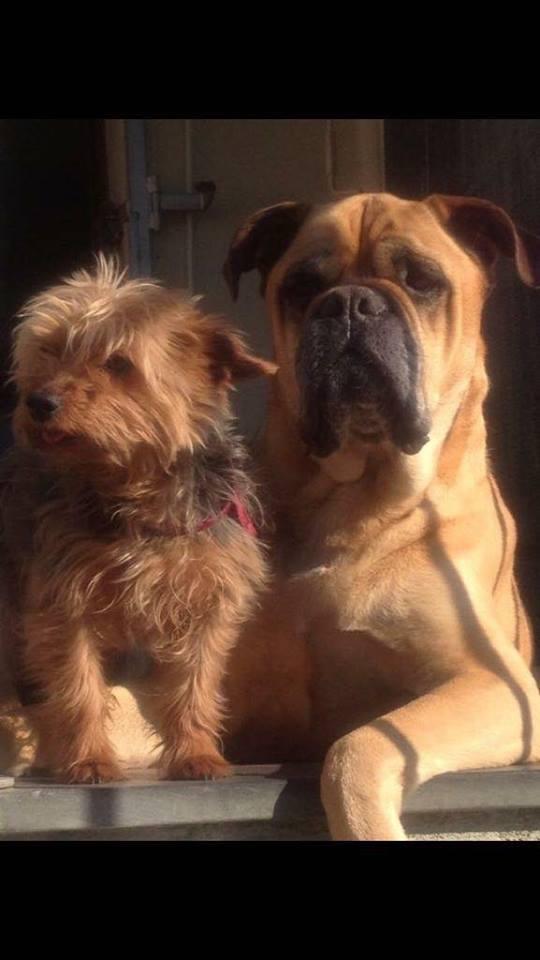 cane di razza setter