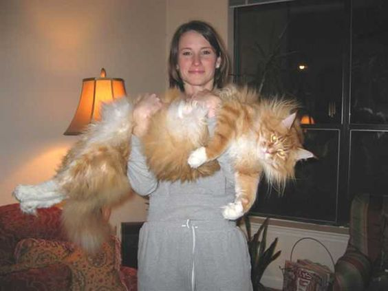 Welcome To Megacoon Com Travel With Us On A Journey Down Maine Coon