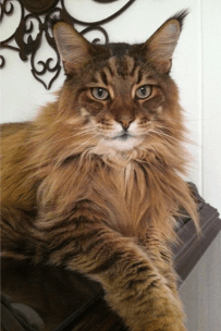 Megacoon Maine Coon Cattery
