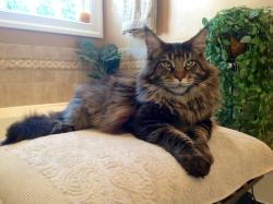 Brown Classic Male Main Coon - 20 Months Old