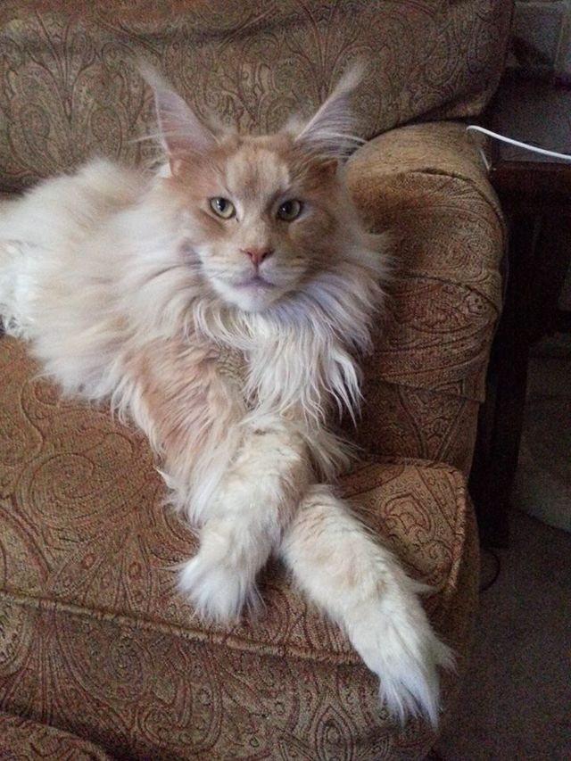 Megacoon Cattery Photo Gallery - Pictures of Maine Coon Kittens and Cats