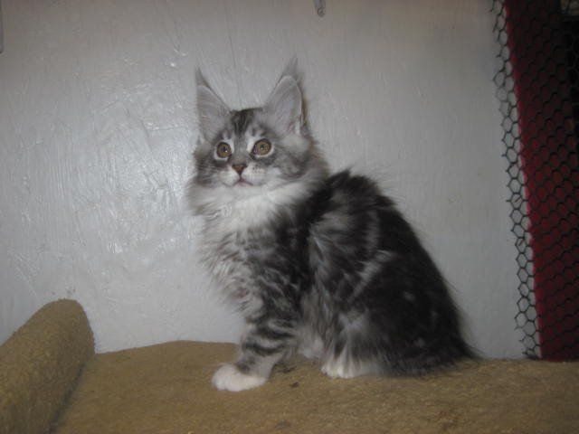 Megacoon Maine Coon Kittens For Sale